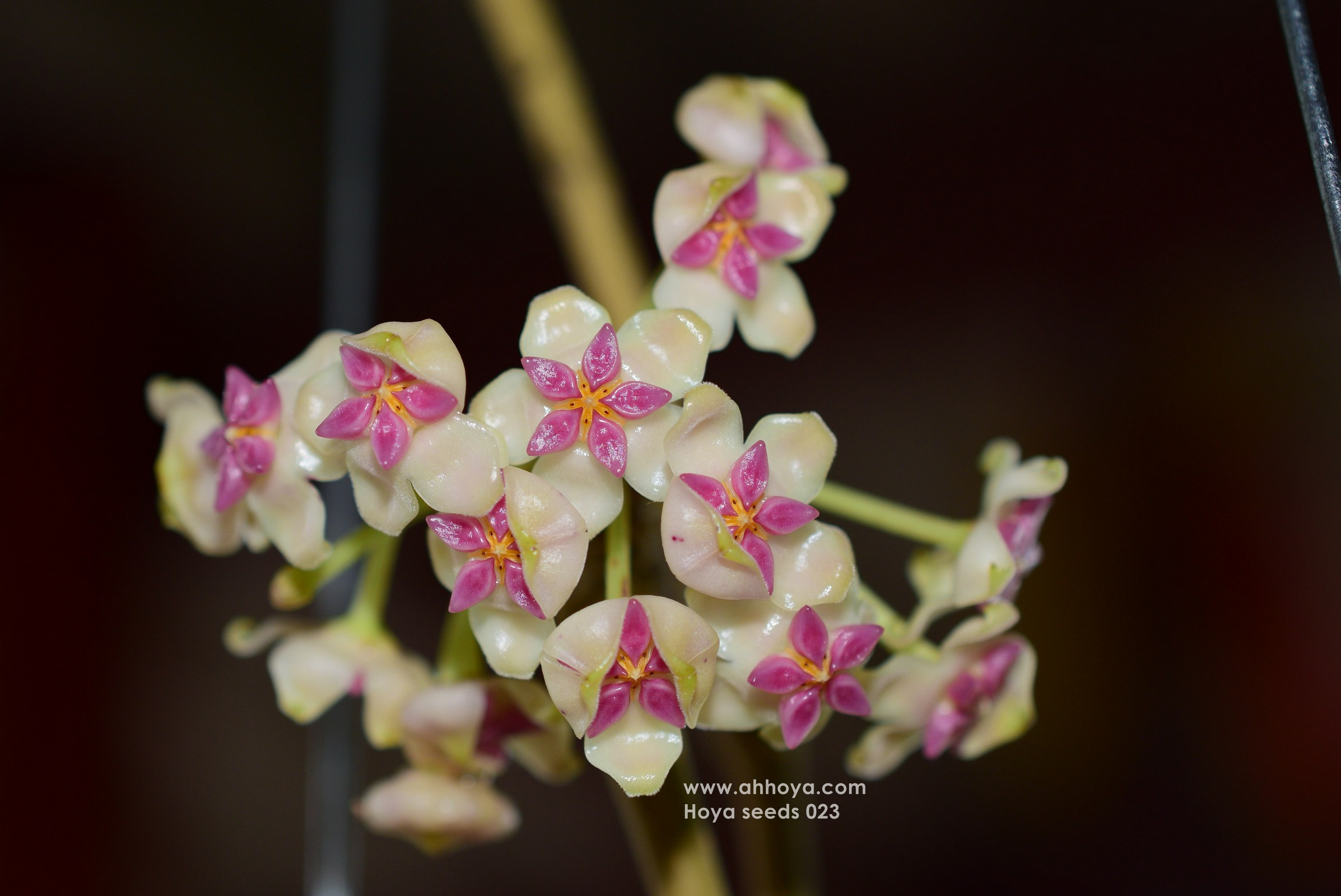 Hoya Plants Nursery Ah Cutting สวนหล งบ าน ขายโฮย า ไม น ว ร ช อดอก จ ดส งท วประเทศ สวน เล อย ประด บ